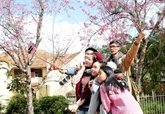 Bientôt un festival des fleurs de prunus cerasoides de Dà Lat