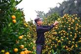 Bientôt la fête des kumquats 2018 à Hôi An