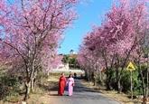 Ouverture de la 1re fête des fleurs de cerisier de Dà Lat