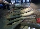 Saisie de défenses d'éléphants à l'aéroport de Nôi Bài à Hanoï