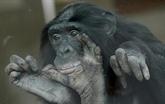 À l'inverse de l'homme, le bonobo préfère les dominateurs aux doux gentils