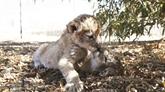 En Afrique du Sud, naissance des premiers lions-éprouvette