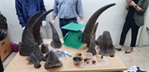 Saisie de 34 kg de cornes de rhinocéros à l'aéroport international de Nôi Bài