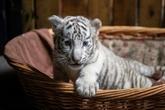 Chine: grand succès de trois bébés tigres blancs nés en captivité