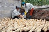 Plus de 762 milliards de dôngs consacrés à la lutte contre la grippe aviaire