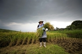 Aliment sacré, le riz japonais mis à l'épreuve