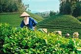 Faire naître la marque du thé vert de Phu Tho