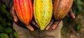 La passion du cacao, une histoire veille de plus de 5.000 ans