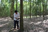 À la recherche d'une voie de développement durable pour le caoutchouc vietnamien