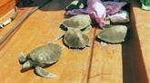 Kiên Giang: 12 tortues marines rendues à la nature