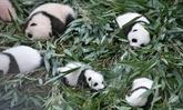 Le nombre de pandas élevés en captivité est passé à 548 dans le monde