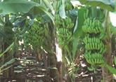Le bananier vietnamien