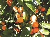 Le mandarinier