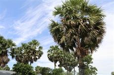À An Giang, les palmiers se sucrent
