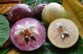 Exportation de pommes de lait Lo Rèn de Tiên Giang vers les États-Unis
