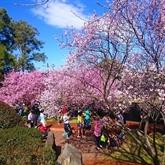 Plantation de 125 cerisiers japonais à Dà Lat