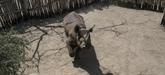 Sur six rhinocéros noirs réintroduits au Tchad en mai, quatre sont morts