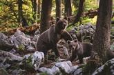 Vivre avec les ours, le pari de la Slovénie
