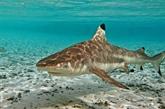 Thaïlande: retour de petits requins dans la baie de La Plage