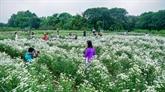 Capturer de beaux moments avec les marguerites Daisy de Hanoï