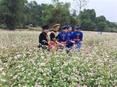 Champ de fleurs de sarrasin en banlieue de Hanoï