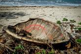 À Mayotte, la difficile lutte contre le braconnage des tortues vertes