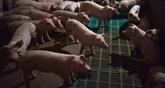 Une épidémie de grippe porcine déclarée au Centre du Japon