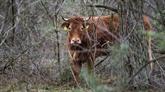 Une vache se cache dans les bois pour échapper à l'abattoir...