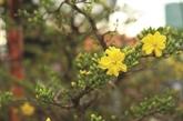 L'abricotier, la fleur du Têt dans le Sud