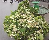 Les fleurs de pamplemoussier, messagères du printemps