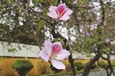 Les fleurs de bauhinie sépnouissent dans la capitale