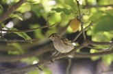Les oiseaux des campagnes en déclin vertigineux en France