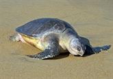 La vulnérable reproduction de tortues menacées en Inde