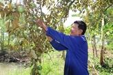 Opportunité en or pour les pommes de lait vietnamiennes aux États-Unis
