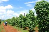 Le rajustement nécessaire des politiques de production poivrière