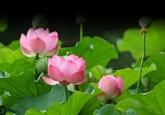 La Fête des fleurs de lotus de Dông Thap 2018