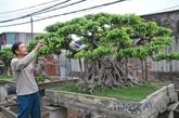 Triều Khúc, la passion des bonsaïs