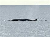 Égypte: une baleine bleue observée dans la mer Rouge