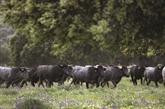 Les taureaux de combat: une passion de famille en Espagne