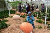 Lâm Dông: Jardin de citrouilles géantes à Dà Lat