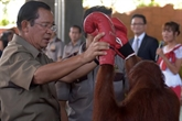 Cambodge: en campagne électorale, une pause pour un spectacle dorangs-outans