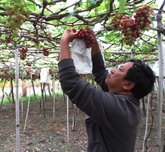 Les vignobles de Ninh Thuân attirent les touristes