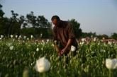 La production mondiale d'opium et cocaïne a explosé