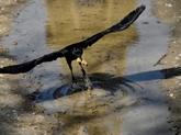 Des corbeaux capables de reproduire un objet de mémoire