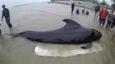 Thaïlande: un dauphin-pilote meurt après avoir avalé 80 sacs en plastique