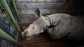 Kenya: un dixième rhinocéros est mort après avoir été changé de réserve