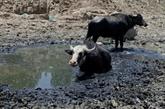 En Irak, la sécheresse met à l'agonie bovins et éleveurs