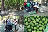 La saison des fruits de pancovier à Hanoï