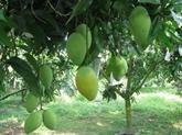 La mangue australienne et le fruit de la passion réunis sur le même sol à Tây Ninh