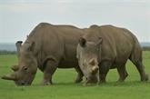 Premiers embryons de rhinos in vitro, espoir pour une espèce quasi éteinte